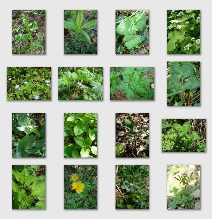 Les mauvaises herbes ne sont que des herbes mal aim es for Mauvaises herbes du jardin photos